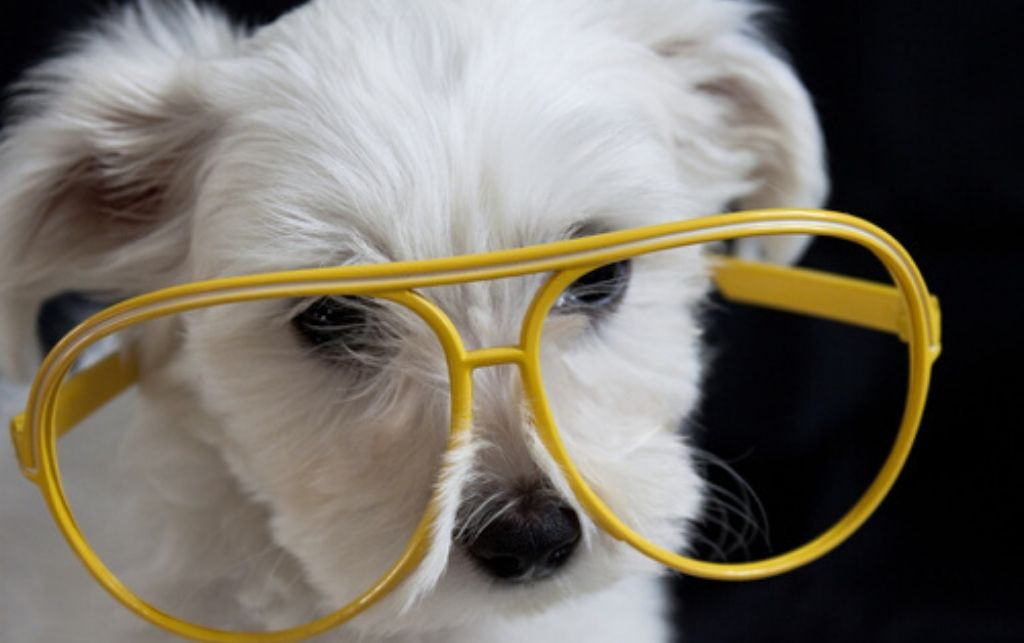 chien blanc avec lunettes jaunes pour voir autrement ses priorités
